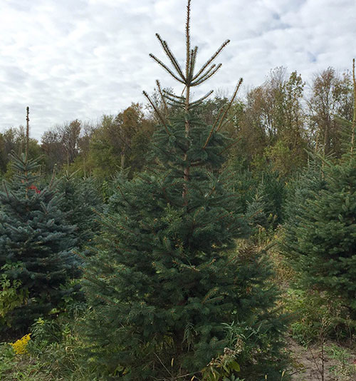 Blue Spruce for sale at Minnesota Wholesale Trees