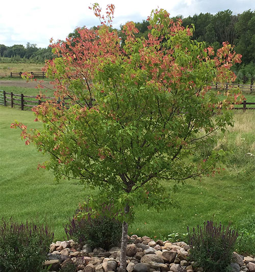Amur Maples for sale at Minnesota Wholesale Trees