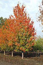 Inferno Sugar Maple