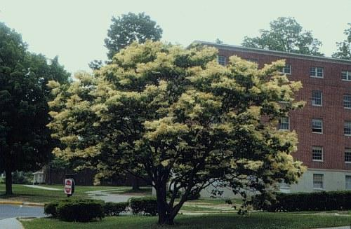 Syringa Japanese Lilac Tree